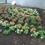 花壇に咲きましたよ